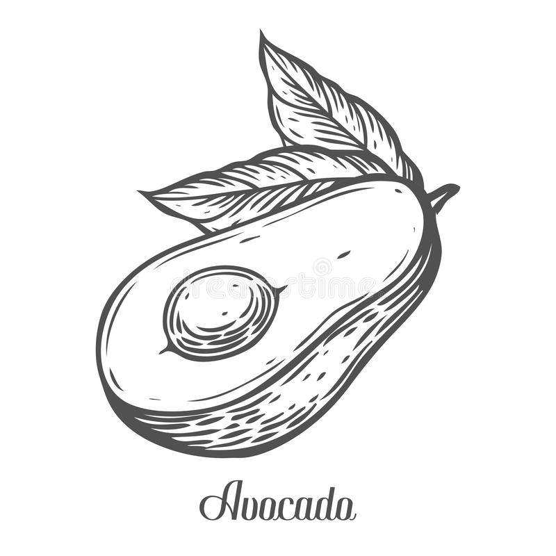 Avocado slice Vector hand drawn vector illustration. Tropical summer fruit engraved style. Detailed food drawing. Great for. Label, poster, print. Black on stock illustration