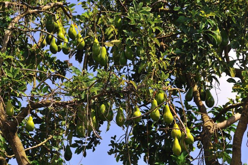 Avocado tree. A brasilian avocado tree on the farm stock photography