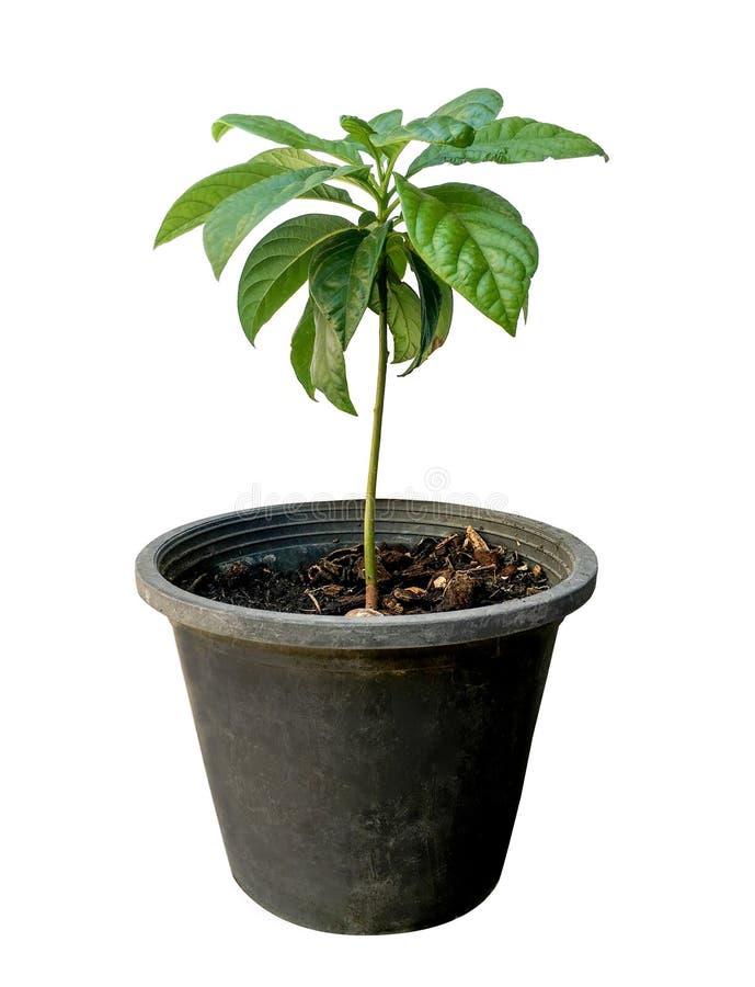 Avocado tree on white background royalty free stock photos