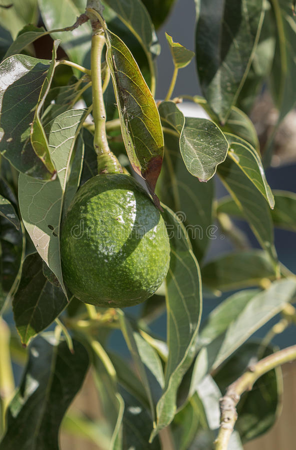 Avocado on the tree royalty free stock images