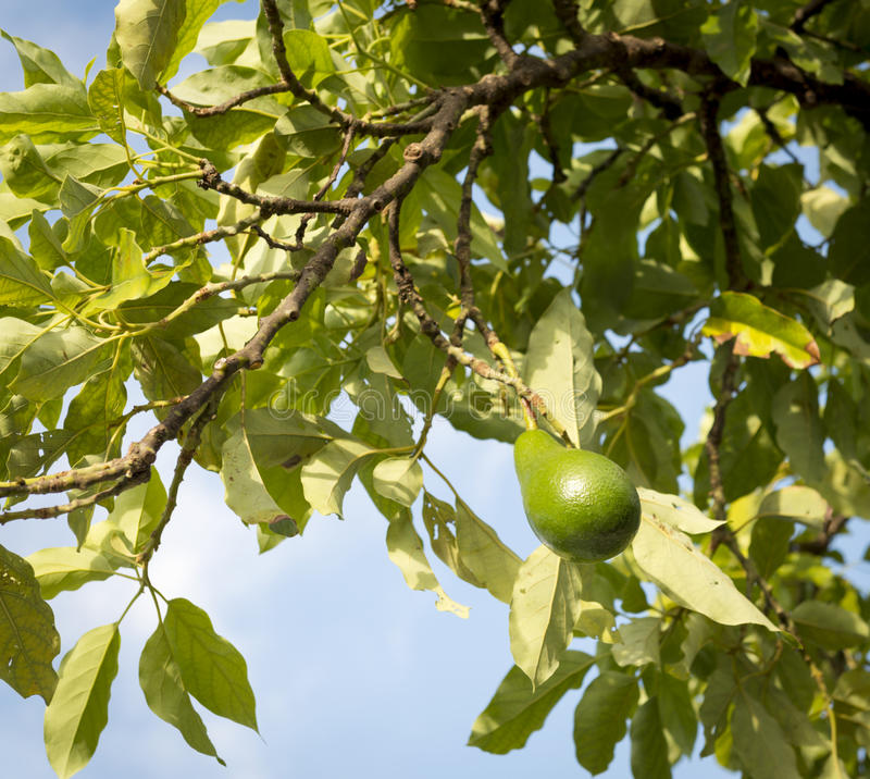 Avocado Tree stock image