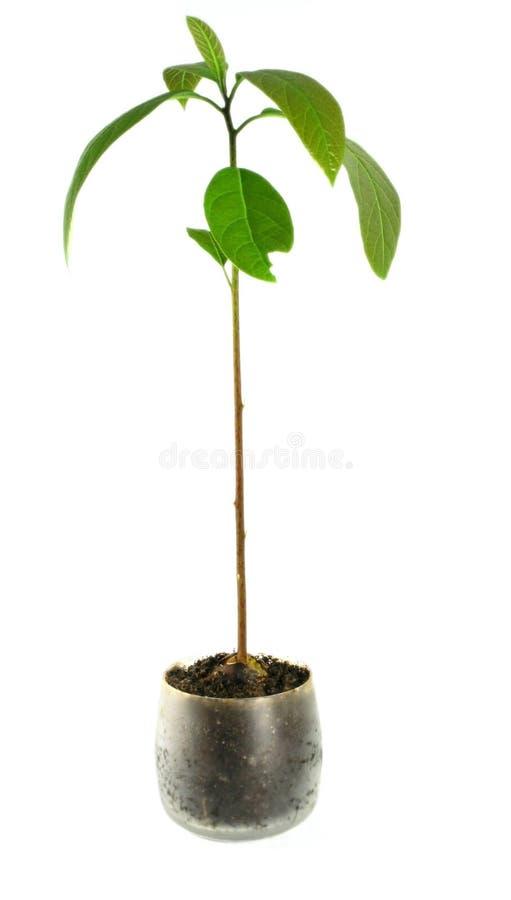 Avocadoanlage /isolated/ - Houseplant lizenzfreies stockfoto