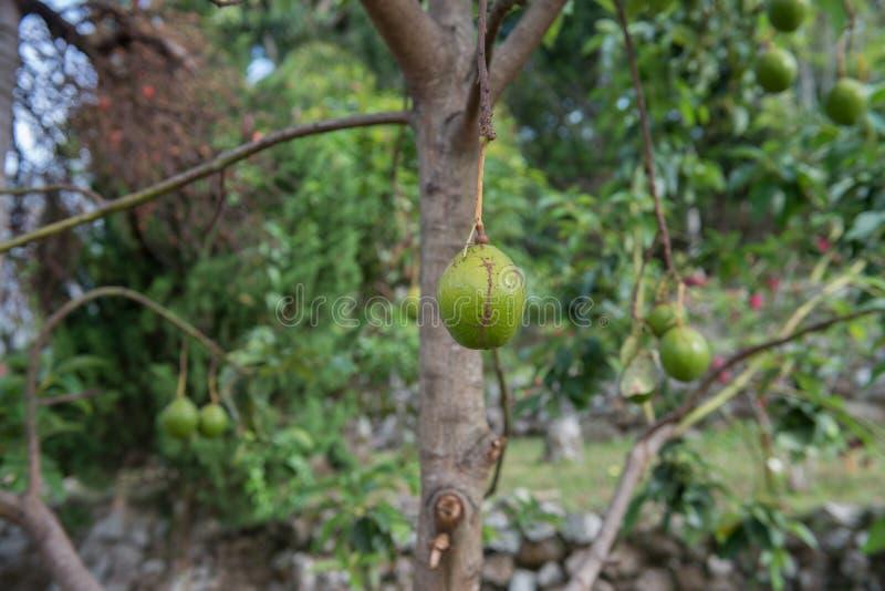 Avocadoboom stock afbeeldingen
