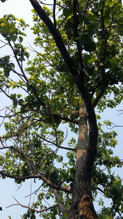 avocadoboom alvorens vruchten te produceren royalty-vrije stock fotografie