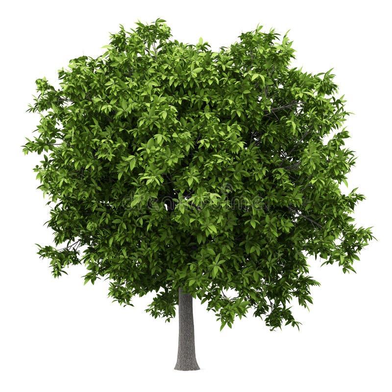 Avocadoboom op wit wordt geïsoleerd dat royalty-vrije illustratie