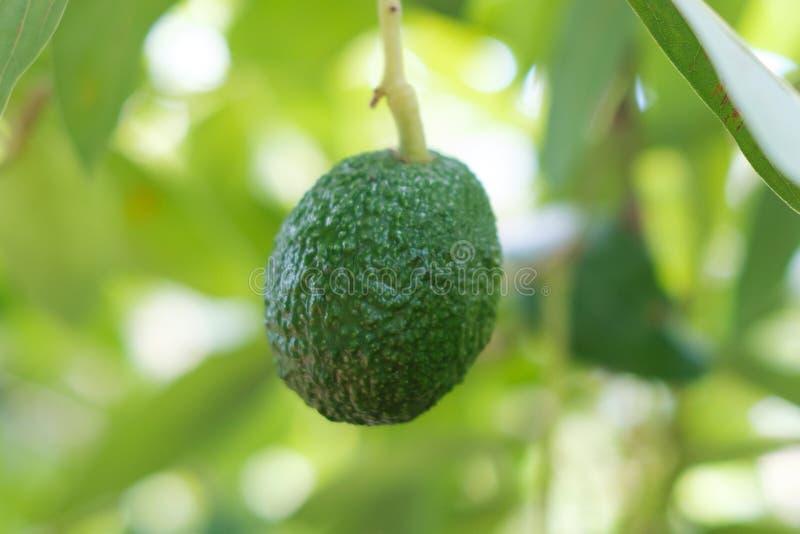 Avocadofruit het hangen op tak van boom royalty-vrije stock afbeeldingen