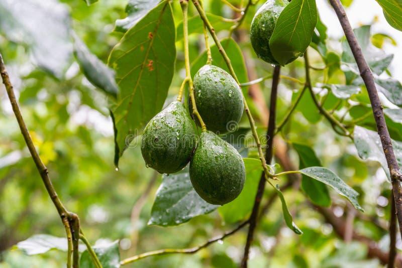 Avocadofruit op de boom in de aanplanting van het avocadolandbouwbedrijf royalty-vrije stock fotografie