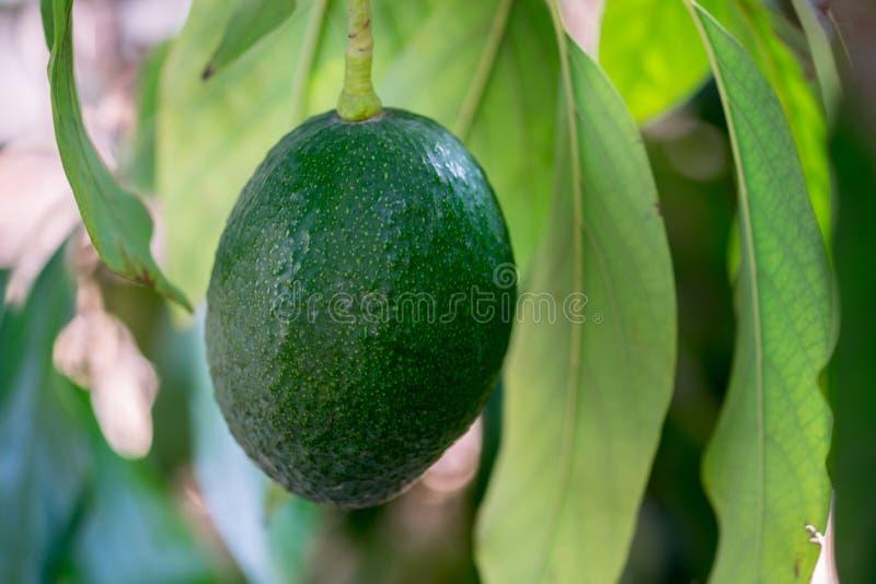 Avocadofruitteelt op avocadoboom stock fotografie