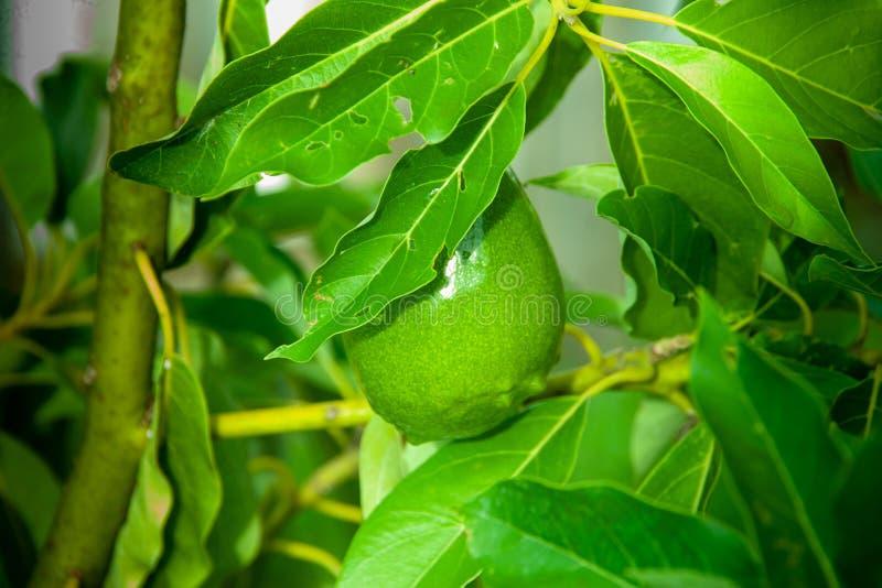 Avocadofruitteelt op een boom royalty-vrije stock afbeeldingen