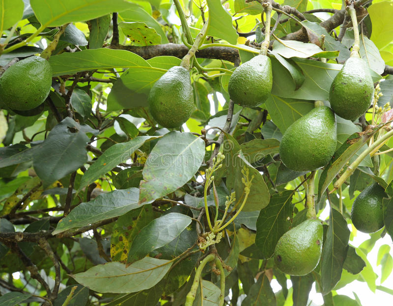 Avocados, die in einem Baum wachsen stockfoto