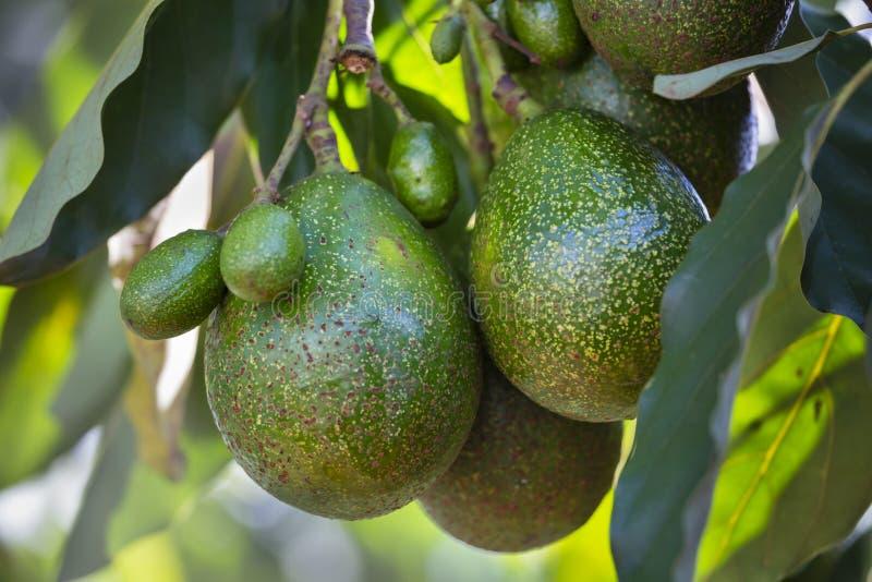 Avocados na drzewie, Kenja zdjęcia royalty free