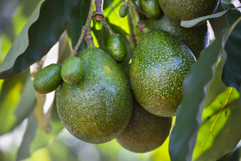 Avocados on a tree, Kenya royalty free stock photos