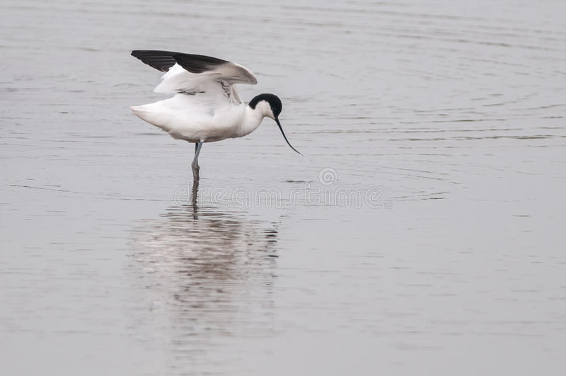 Download Avocet Royalty Free Stock Photo - Image: 25390275