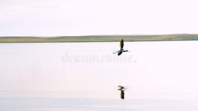 avocet amerykański lot zdjęcia royalty free