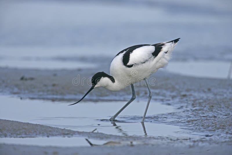 Avocet, avosetta do Recurvirostra foto de stock