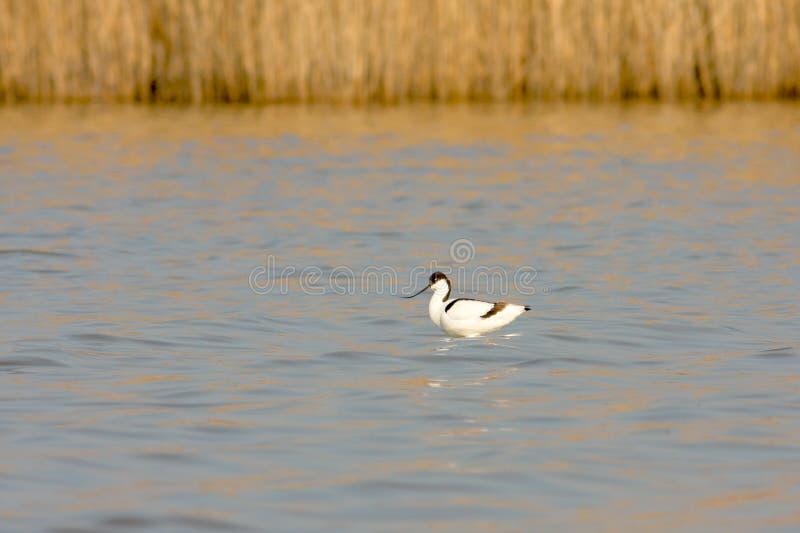 Avocet/avosetta Pied do Recurvirostra imagem de stock royalty free
