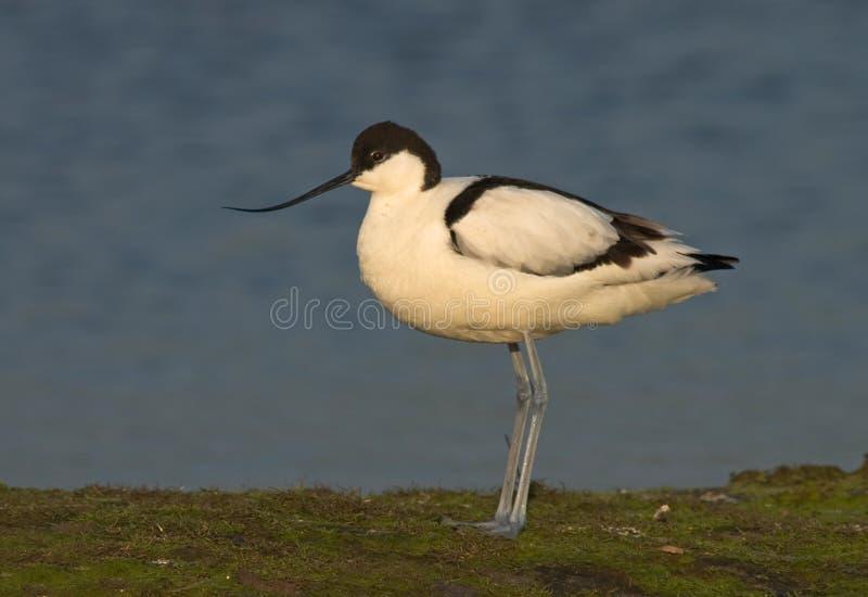 Avocet de varios colores, Kluut, avosetta del Recurvirostra imagenes de archivo