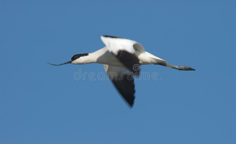 Avocet de varios colores, Kluut, avosetta del Recurvirostra fotografía de archivo libre de regalías