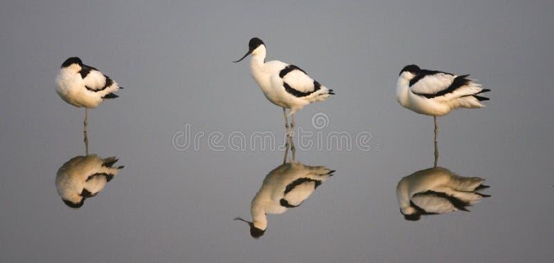 Avocet de varios colores, Kluut, avosetta del Recurvirostra fotografía de archivo