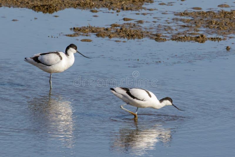 Avocet Pied (avosetta do Recurvirostra) foto de stock royalty free