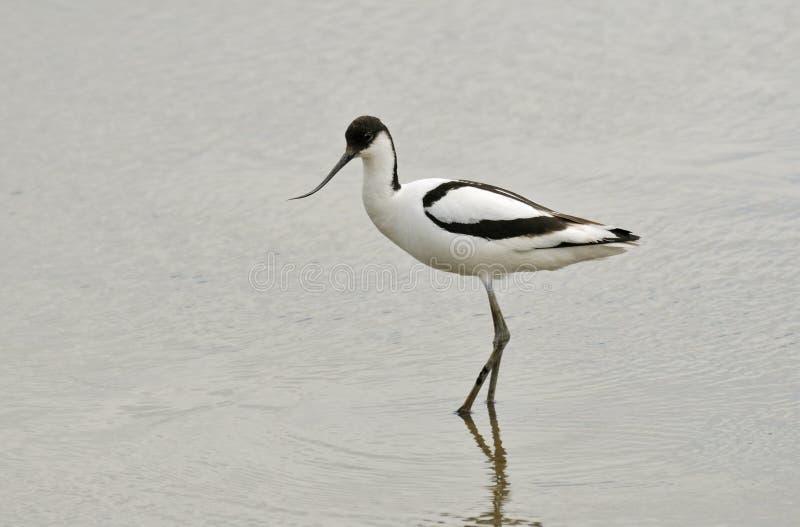 Avocet (Recurvirostra avosetta) stock images