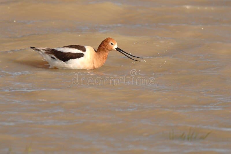 Download Avocet Snapping Beak stock photo. Image of nature, animal - 39514934