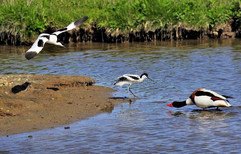 avocets προστατευτικό recurvirostra προγόνων avosetta στοκ εικόνες με δικαίωμα ελεύθερης χρήσης