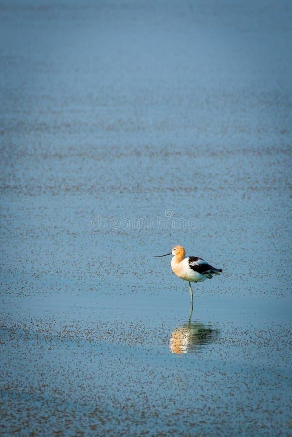 Avocette américaine se reposant dans le Grand Lac Salé images libres de droits