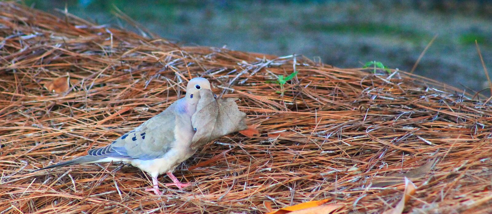 Avoiding Paparazzi. Mourning Dove on the ground with a large leaf in front of head like he is dodging paparazzi royalty free stock photo