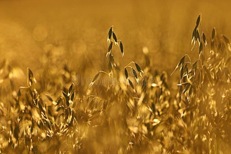 Avoine au champ de coucher du soleil photographie stock