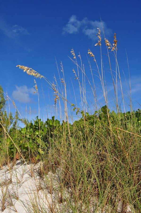 Avoine de mer sur la dune de sable des Caraïbes image stock