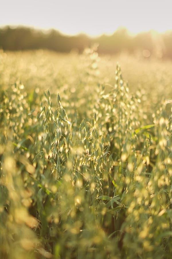 avoine sur la protection de l'environnement de thème de soleil de champ de vert de texture de coucher du soleil photo libre de droits