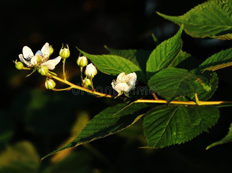 Avoir en fleur de mûre dans l'été Rubus photo libre de droits
