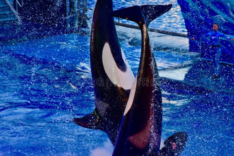Avoir une baleine d'un moment dans la piscine photo stock