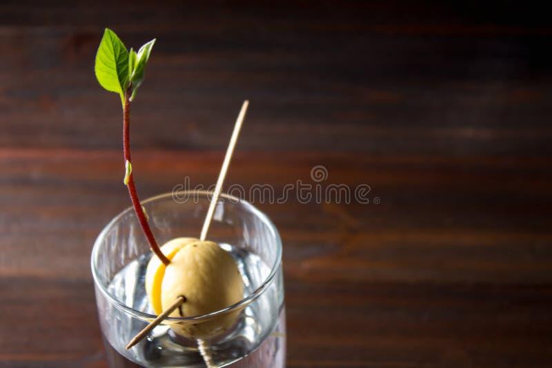 Avokadogrodden växer från kärna ur i ett exponeringsglas av vatten En bosatt växt med sidor, början av liv på en trätabell royaltyfri foto