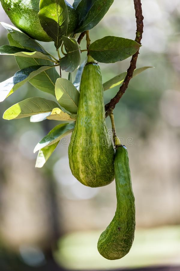 AvokadoPersea americana Brasilien royaltyfria foton