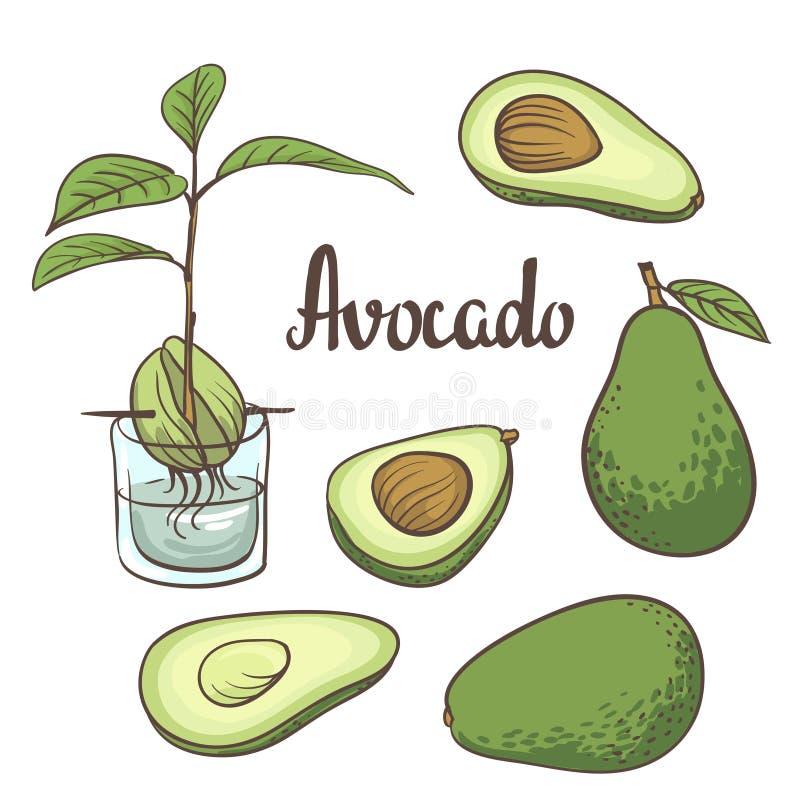 Avokadot halva av avokadot, avokado kärnar ur, en planta av avokadot på en laboratoriumflaska isollated på vit bakgrund royaltyfri illustrationer