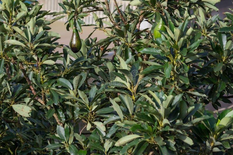 Avokadoträd, avokadon som är mogna på trädet, denna växt som är fullvuxen i tropiskt royaltyfria foton