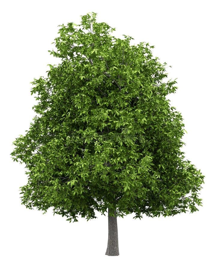Avokadoträd som isoleras på vit vektor illustrationer