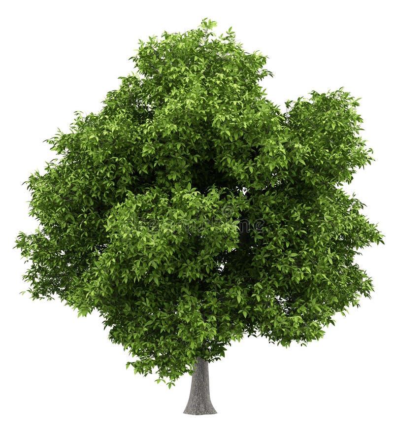 Avokadoträd som isoleras på vit stock illustrationer