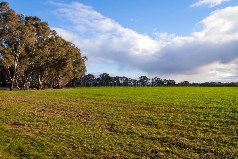 Avondlicht over groen gebied met gombomen stock fotografie