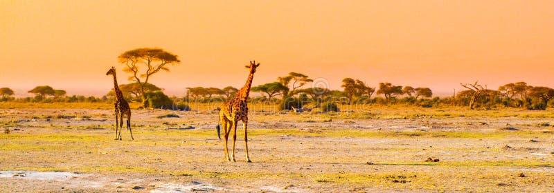 Avondpanorama van savanne met giraffen, het Nationale Park van Amboseli, Kenia, Afrika royalty-vrije stock afbeeldingen