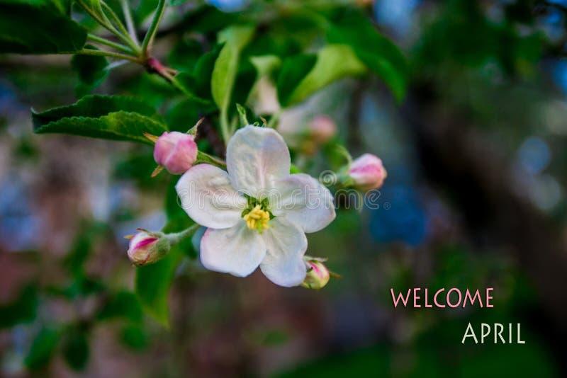 Avril bienvenu, message avec l'arbre de floraison au printemps photo stock