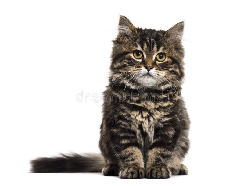 Avrivet sammanträde för kattungeblandad-avel katt och se cameren arkivbild