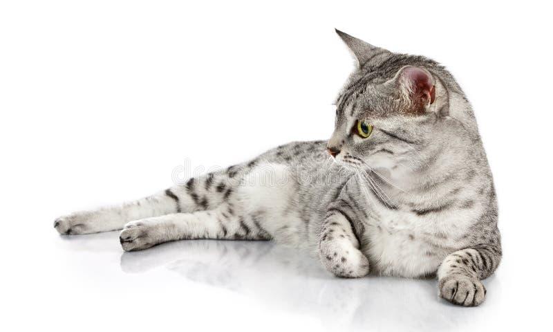 Avslappnande egyptisk Mau katt fotografering för bildbyråer