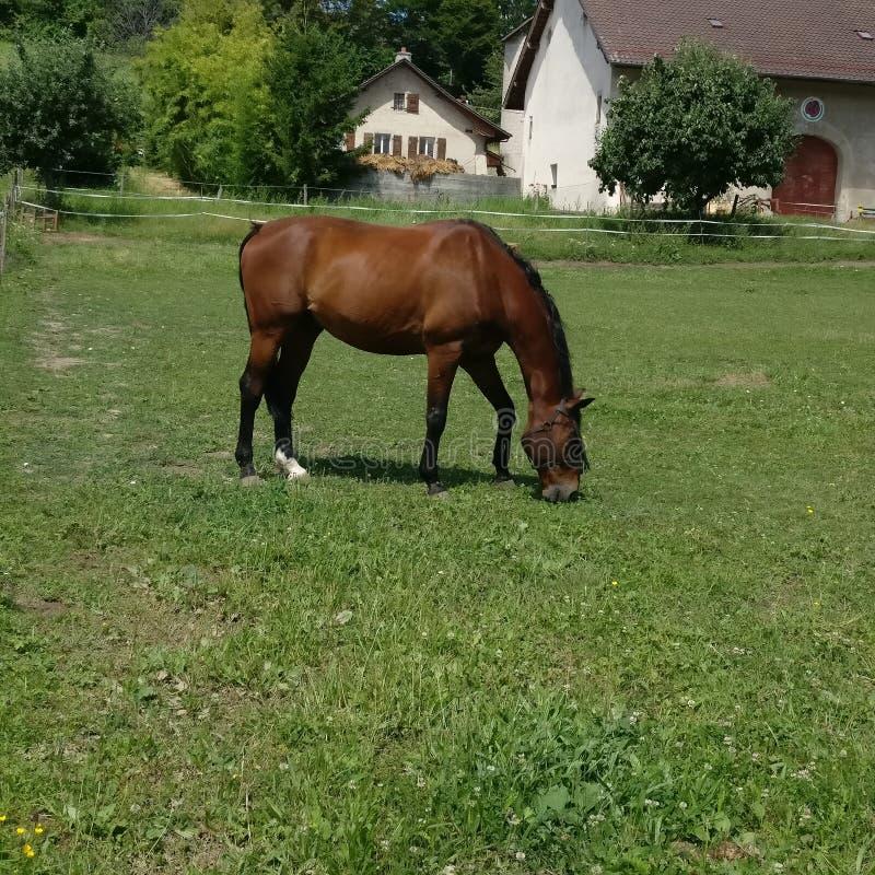 Avslappnande häst fotografering för bildbyråer