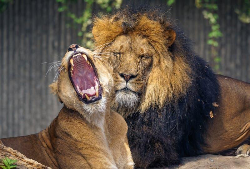 Avslappnande Lions fotografering för bildbyråer