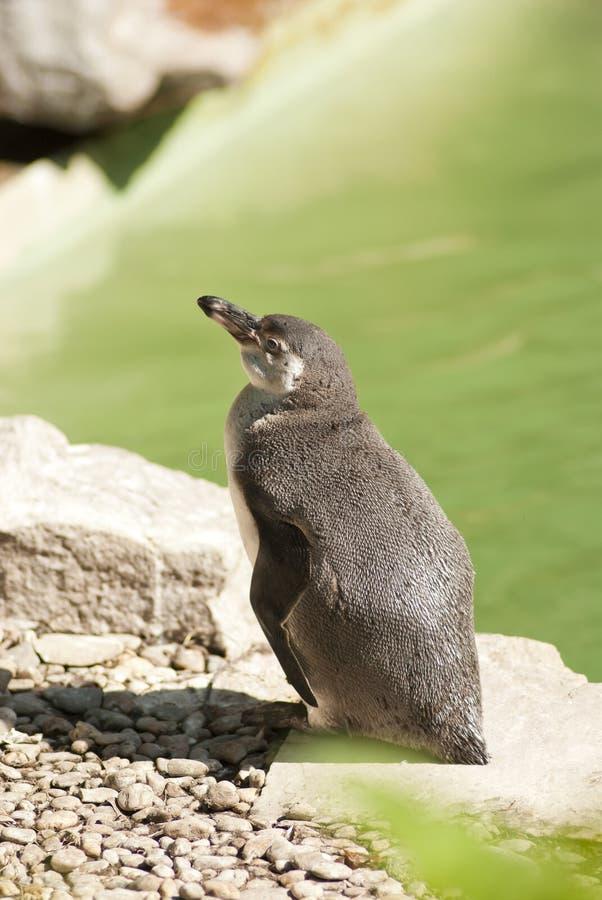 Avslappnande pingvin arkivbild