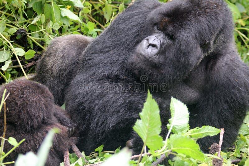 avslappnande silverback för gorilla arkivbild