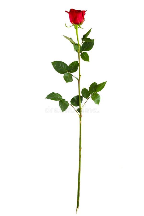 Avsluta den vertikala röda rosen för den långa stammen royaltyfria bilder